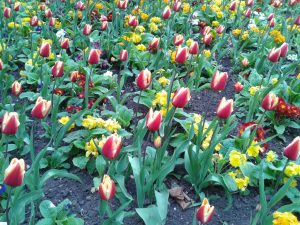 Tulips in BHM City Centre-Colourful@Symphony