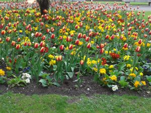Tulips in BHM City Centre-Golden & colourful @Symphony