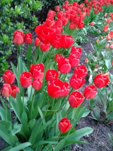 Tulips in BHM City Centre-Red line2