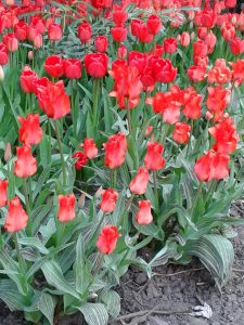 Tulips in BHM City Centre-Red rain