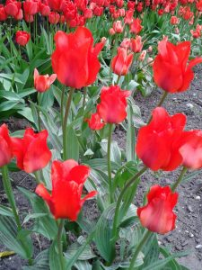 Tulips in BHM City Centre-Red@ Symphony Hall