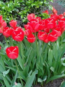 Tulips in BHM City Centre-Red @Symphony Hall2