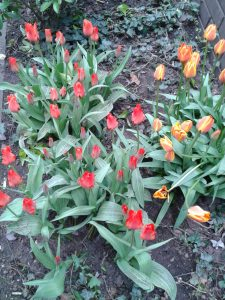 Tulips in BHM City Centre