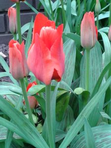Tulips in BHM City Centre2