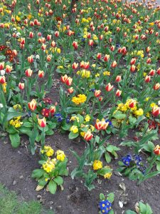 Tulips in BHM City Centre4