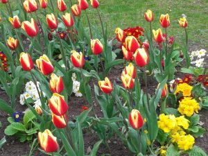 Tulips in BHM City Centre7
