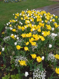 Tulips @Warwick Uni Westwood Golden Yellow