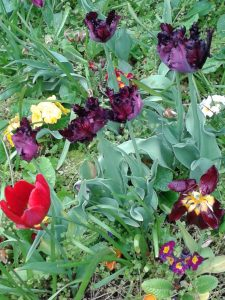 Tulips @Warwick Uni Westwood-purple & red