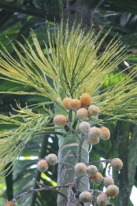 Areca Nut (1)