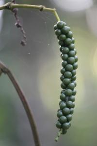 Pepper (3)