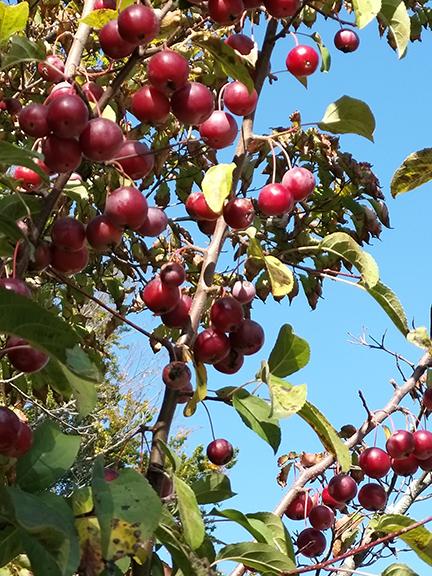 Ed- BC fruits
